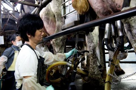 機械を使った搾乳の様子