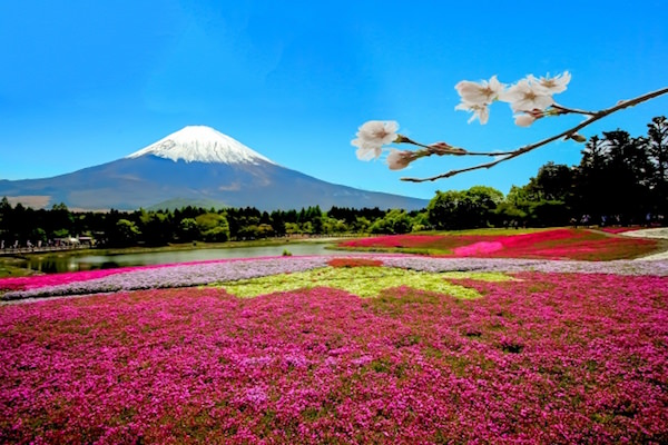ニセコの芝桜